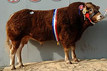 Goldies Champion - Charolais bull semen for sale