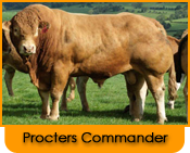 Click here for further details on Procters Commander, progeny and to order Limousin bull semen online