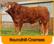 Click here for further details on Roundhill Cramses, progeny and to order Limousin bull semen online