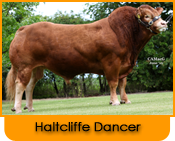 Click here for further details on Haltcliffe Dancer, progeny and to order Limousin bull semen online