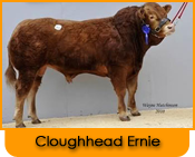 Click here for further details on Cloughhead Ernie, progeny and to order Limousin bull semen online