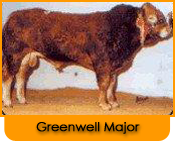 Click here for further details on Greenwell Major, progeny and to order Limousin bull semen online
