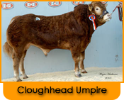 Click here for further details on Cloughhead Umpire, progeny and to order Limousin bull semen online
